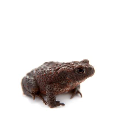 anuran: Common or European toad on white