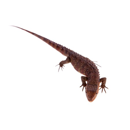 semi aquatic: The chinese crocodile lizard on white Stock Photo