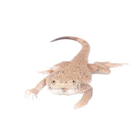 eared: Secret Toad-Headed Agama on white