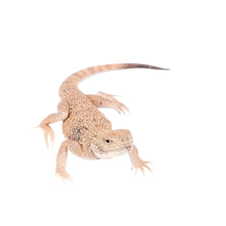 lacertidae: Secret Toad-Headed Agama on white
