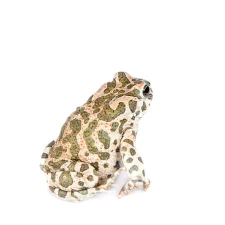 common hop: The Egyptian green toad on white