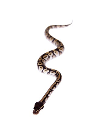 royal python: Royal Python, or Ball Python on white