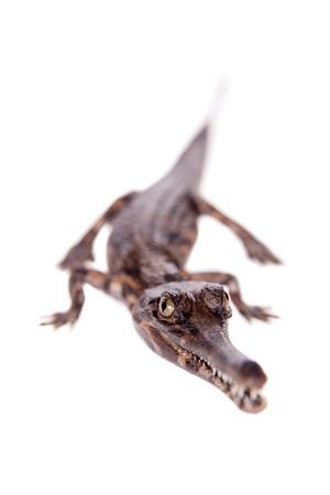 falso: El falso gavial, Tomistoma schlegelii, sobre fondo blanco Foto de archivo