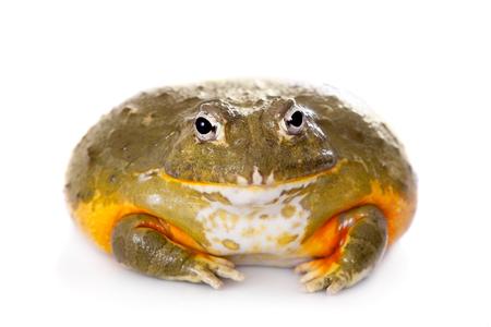 bullfrog: The African bullfrog on white