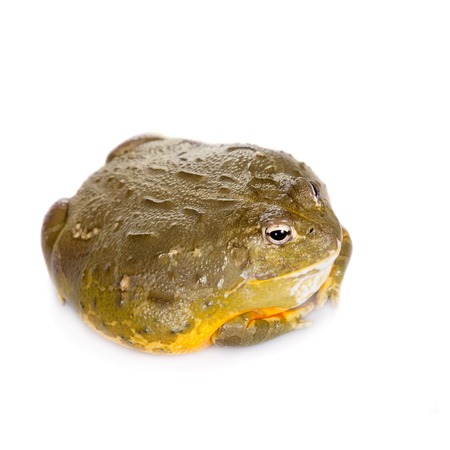micro climate: The African bullfrog, Pyxicephalus adspersus, isolated on white background
