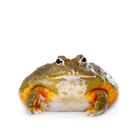 bullfrog: The African bullfrog, Pyxicephalus adspersus, isolated on white background