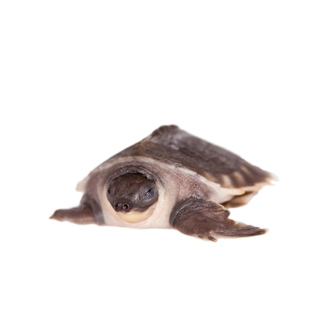 freshwater turtle: The pig-nosed turtle, Carettochelys insculpta, isolated on white background