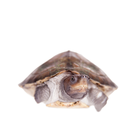 Painted river terrapin, Batagur borneoensis, isolated on white background.