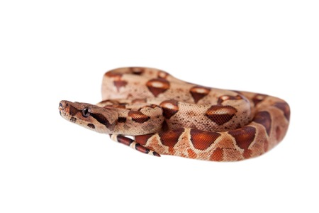 boa: The common boa, Boa constrictor, isolated on white background
