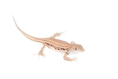 The rapid fringe-toed lizard, Eremias velox, isolated on white background