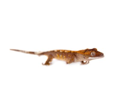 crested gecko: New Caledonian crested gecko, Rhacodactylus ciliatus, isolated on white