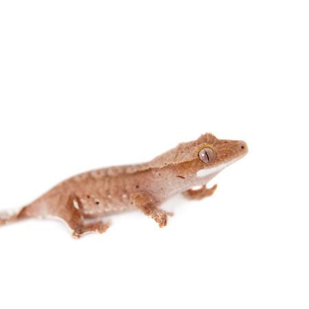 crested gecko: New Caledonian crested gecko, Rhacodactylus ciliatus, isolated on white
