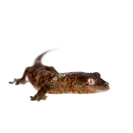 omnivores: Mossy New Caledonian gecko, Rhacodactylus chahoua, isolated on white background Stock Photo
