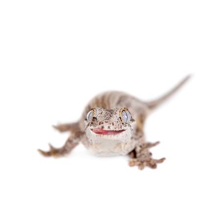 gargouille: La gargouille ou cal�donien gecko cahoteuse, Rhacodactylus auriculatus d�tour�s sur blanc