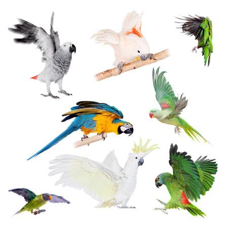 festiva: Flying Parrots set isolated on the white background