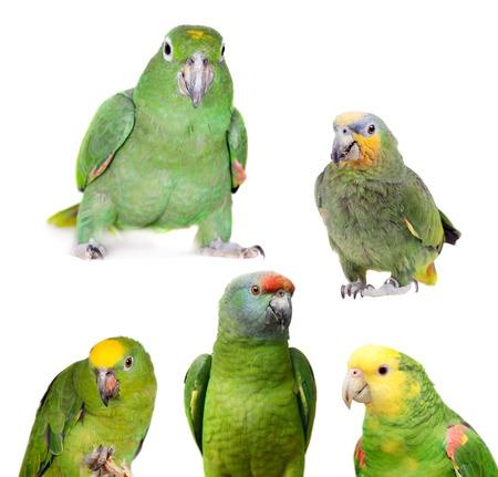 festiva: Amazon parrots set, isolated on white background Stock Photo