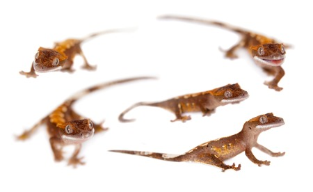 New Caledonian crested gecko, Rhacodactylus ciliatus, isolated on white