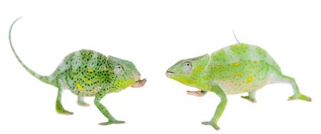 voracious: Usambara giant three-horned chameleon, Chamaeleo deremensis, female isolated on white