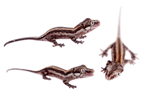 gargouille: The gargoyle or New Caledonian bumpy gecko, Rhacodactylus auriculatus isolated on white Banque d'images
