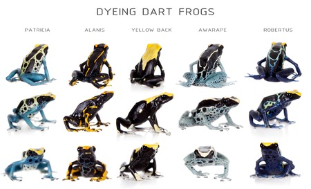 yellow and black poison dart frog: Dyeing poison dart frogs set, Dendrobates tinctorius, isolated on white background Stock Photo