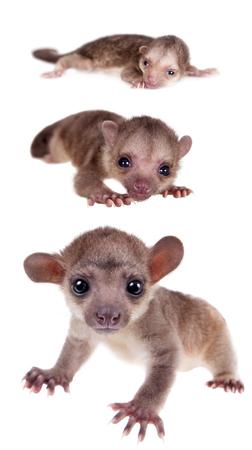 grow up: Kinkajou, Potos flavus, grow up baby isolated on white background Stock Photo