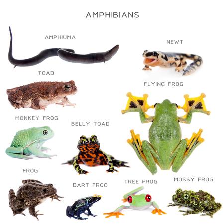 red eyed leaf frog: Amphibian education set, isolated on white background