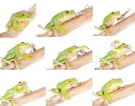 croaking: Giant Feae flying tree frog, Rhacophorus feae, isolated on white background