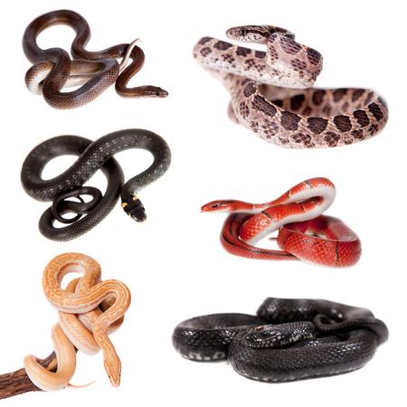 sliding scale: Colubridae snakes set, isolated on white background