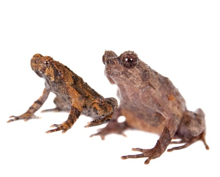 unobtrusive: Bulldog frog, ophryophryne hansi, pair isolated on white background