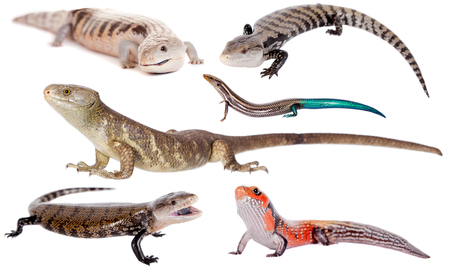 cold blooded: The Skinks set, isolated on white background.