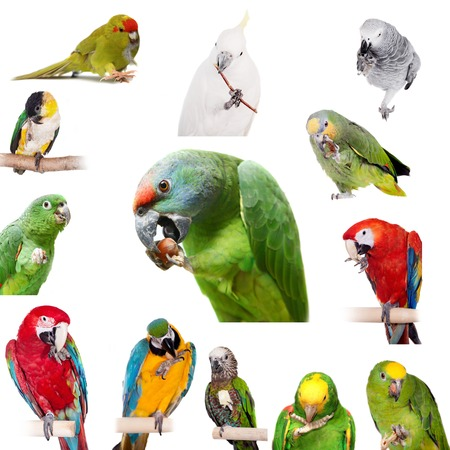 festiva: Parrots playing with paws, Isolated on white background