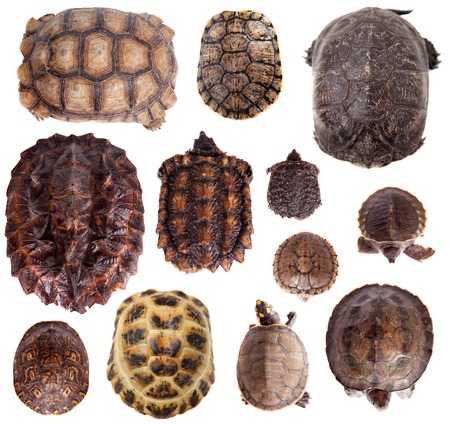 freshwater turtle: Different Tortoiseshells isolated on the white background Stock Photo
