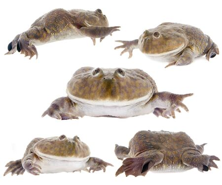croaking: The Budgetts frog, wide-mouth frog, or hippo frog, Lepidobatrachus laevis, isolated on white background