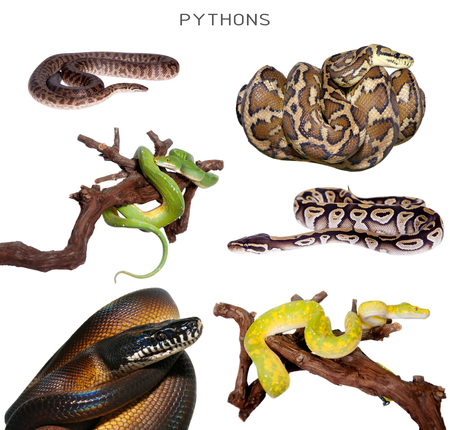 pythons: Pythons set on white isolated on white background