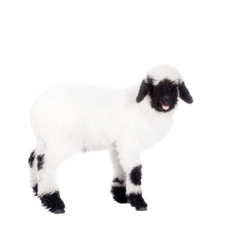 valais: Funny Valais lamb Isolated On White background Stock Photo