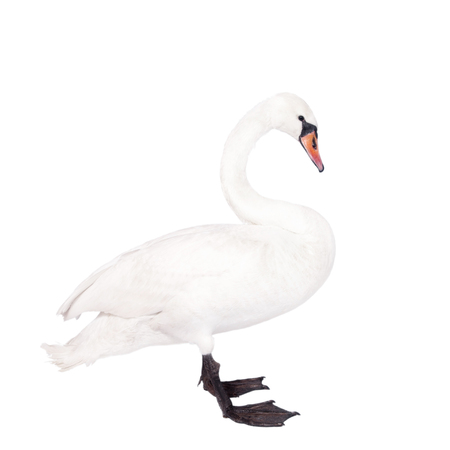 cygnus olor: The mute swan, cygnus olor, isolated on white bacground Stock Photo