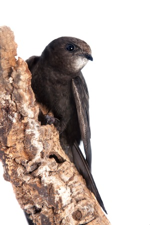 oppressed: The baby bird of Common Swift, Apus apus, isolated on white
