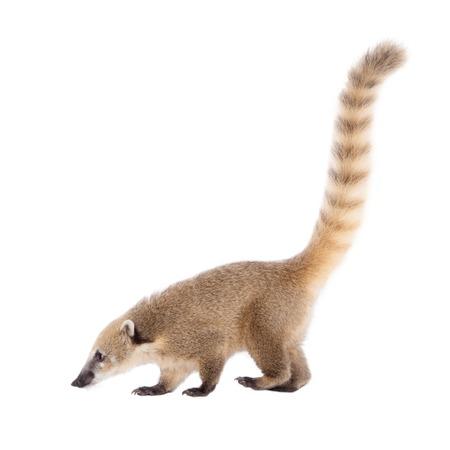 omnivore animal: South American coati, Nasua nasua, baby isolated on white background