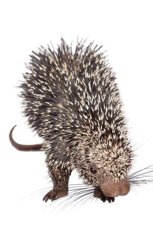 curios: Brazilian Porcupine, Coendou prehensilis, isolated on white background