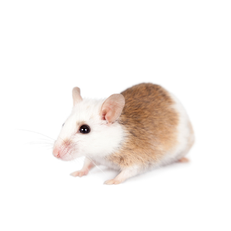 furred: Natal multimammate mouse, mastomys natalensis, isolated on white background