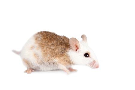 natal: Natal multimammate mouse, mastomys natalensis, isolated on white background