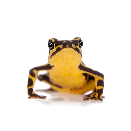 arboreal frog: Amazons Harlequin Frog, Atelopus spumarius, on the white background