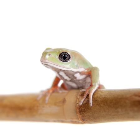 waxy: Waxy Monkey Leaf Frog, Phyllomedusa sauvagii, isolated on white background Stock Photo