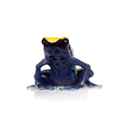 yellow and black poison dart frog: Robertus dyeing poison dart frog, Dendrobates tinctorius, isolated on white background
