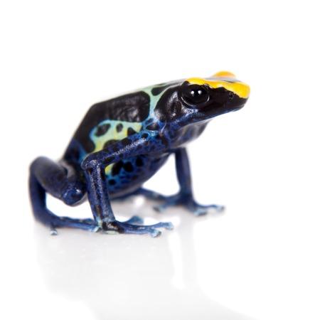 poison dart frog: Robertus dyeing poison dart frog, Dendrobates tinctorius, isolated on white background