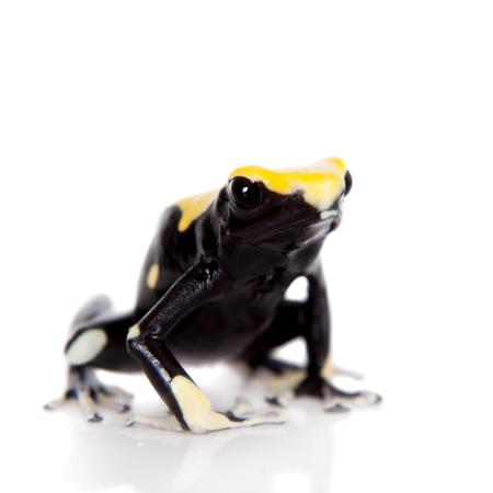 dart frog: Yellow back dyeing poison dart frog, Dendrobates tinctorius, isolated on white background Stock Photo