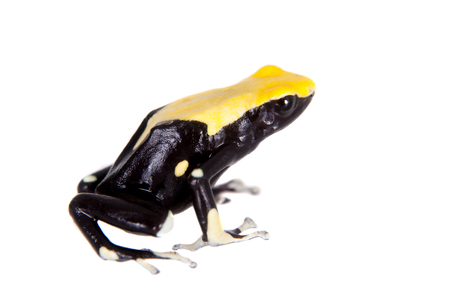arrow poison: Yellow back dyeing poison dart frog, Dendrobates tinctorius, isolated on white background Stock Photo