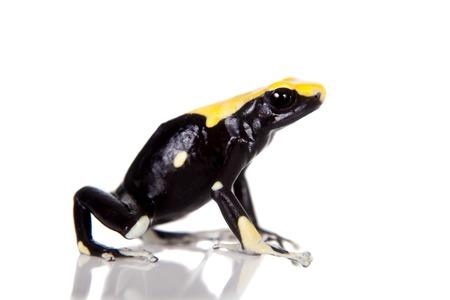 dendrobates: Yellow back dyeing poison dart frog, Dendrobates tinctorius, isolated on white background Stock Photo