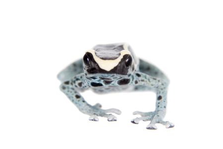 dart frog: Awarape Blue Dyeing Poison Dart Frog, Dendrobates tinctorius, on white background. Stock Photo