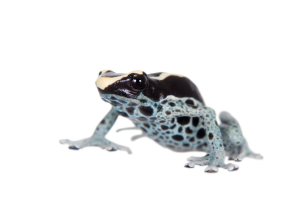dendrobates: Awarape Blue Dyeing Poison Dart Frog, Dendrobates tinctorius, on white background. Stock Photo